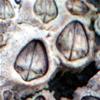 balanos balanus perforatus bellotas de mar 4