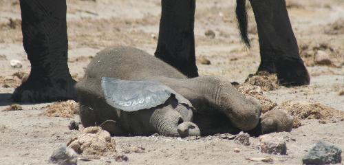 bebe-elefante-durmiendo