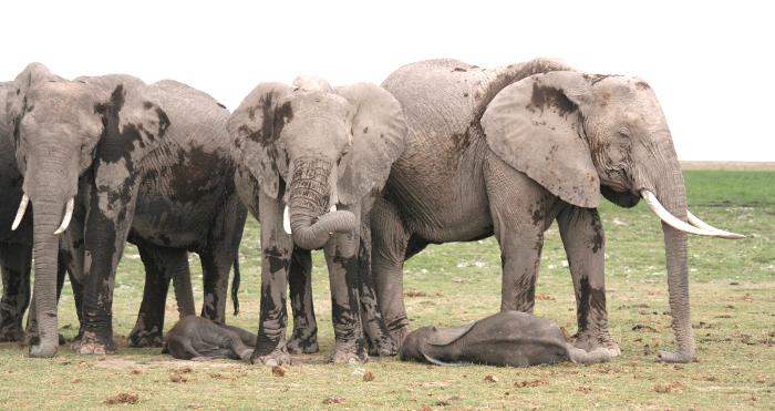 Resultado de imagen de elefantes africanos durmiendo
