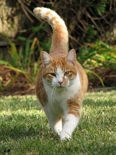 gato-caminando