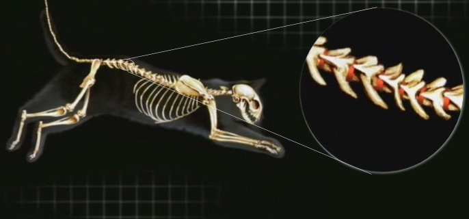 gatos-columna-vertebral-vertebras