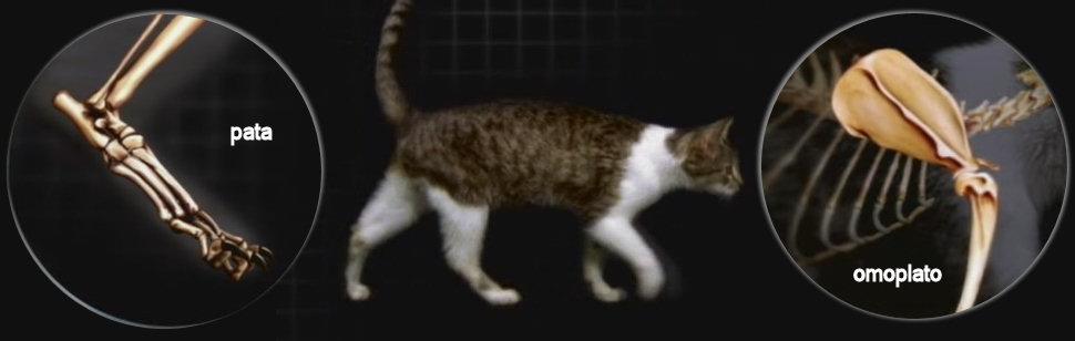 gatos-morfologia-pata-omoplato