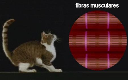 gatos-salto-fibras-musculares