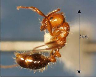 hormiga-fuego-fire-ant