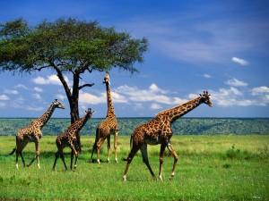 walllpapers fondos escritorio jirafas