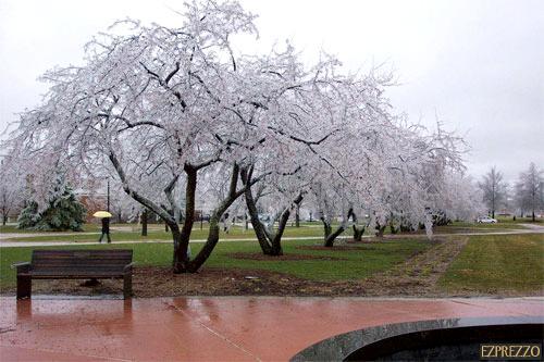 cerezos-congelados-3