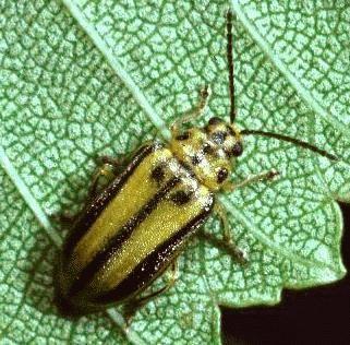 escarabajo-olmo-corteza-1