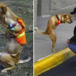 Faith, la perra sin patas delanteras