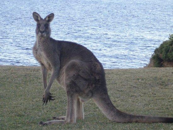 kangaroo-canguro-pies-grandes