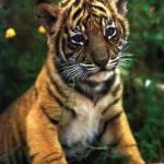 El templo de los tigres
