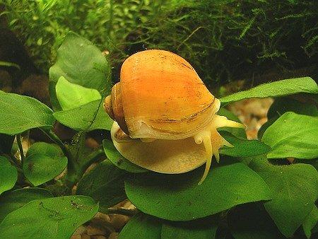 caracol-manzana-sal