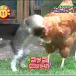 Amor entre gato y gallina: Kokko y Kome