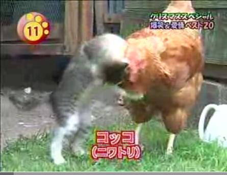 gato-gallina-kokko-kome