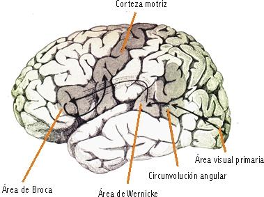 hemisferios-cerebrales-lengua-materna-1