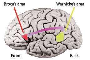 hemisferios-cerebrales-lengua-materna-3