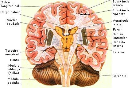 hemisferios-cerebrales-lengua-materna-5
