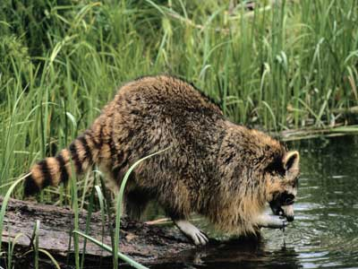 mapache-raccoon-wash-food-agua