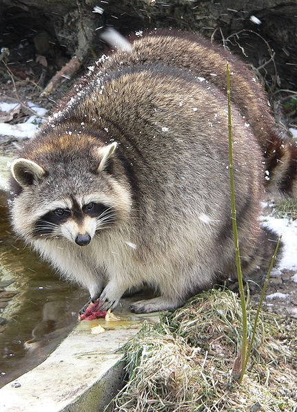 procyon_lotor_mapache-lavando-lavar-comida