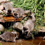 ¿Lavan los mapaches la comida que ingieren?