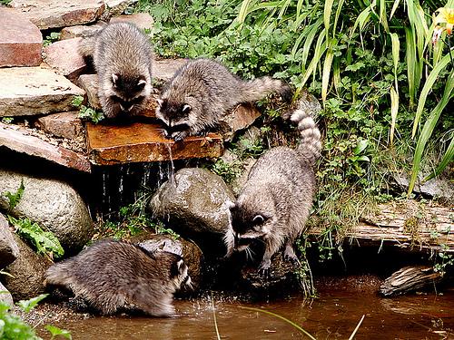 racoon-mapaches-lavando-agua