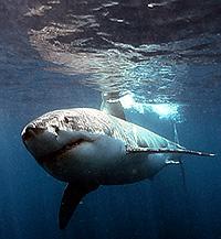 tiburon-gran-blanco