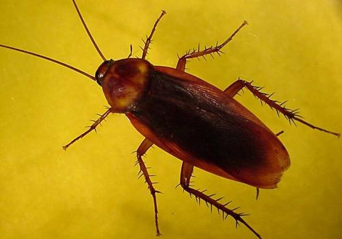 02-cucaracha-americana