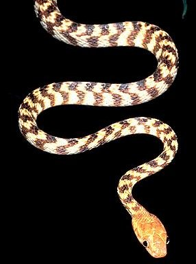 boiga-irregularis-serpiente