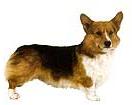 corgi-perro-imagen