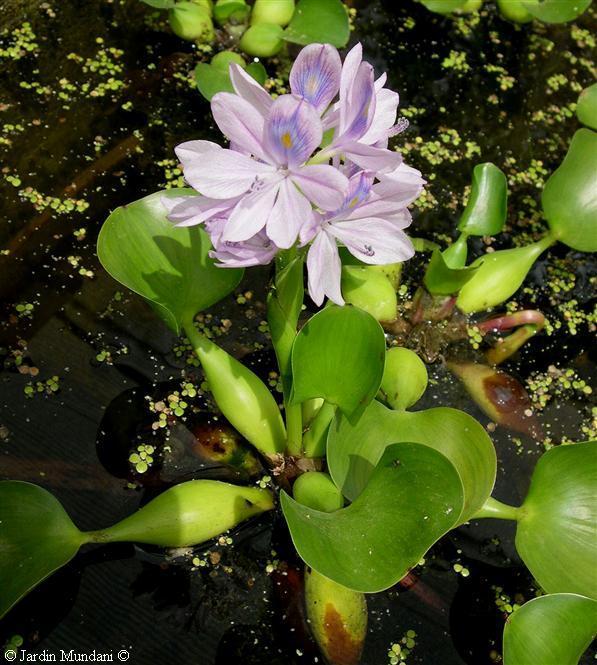 eichornia-jacintos-agua