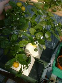 injerto-naranjas