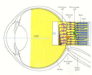 luz-colores-ojo-retina