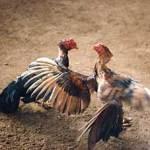 ¿Cuál es el origen de las peleas de gallos?