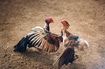 pelea-gallos-venezuela