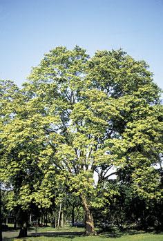 pernambuco-caesalpinia-echinata