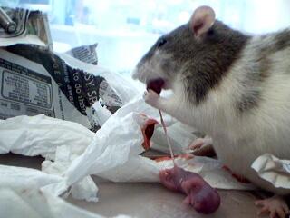 placentofagia-raton