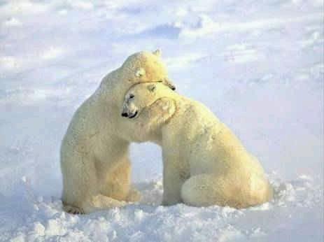 Imagenes HD oso polar - Imagui