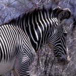 ¿Por qué tienen rayas blancas y negras las cebras ?