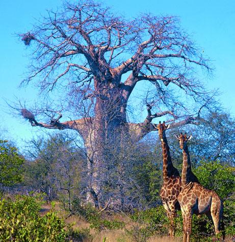giraffe-baobab
