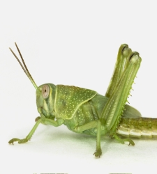 langosta-desierto-verde