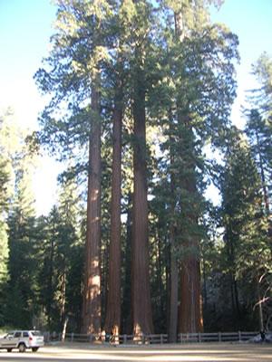 organismo-02-sequoia-antiguo