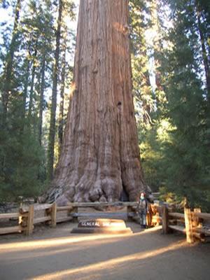 organismo-03-sequoia-viejo