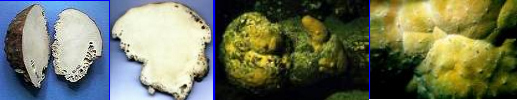 organismo-05-ceratoporella-nicholsoni