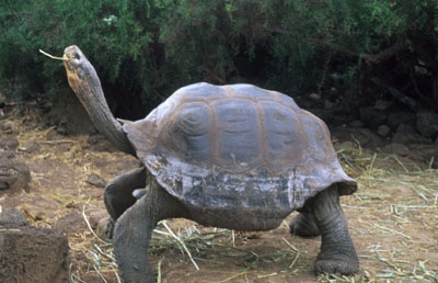 organismo-09-tortuga-geochelone-elephantopus
