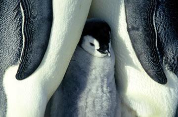 pinguinos-cria-07