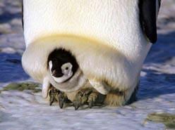 pinguinos-cria-bebe-04