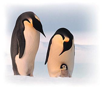 pinguinos-padres-bebe-05