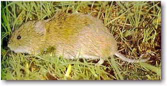 Rata de agua de Pitier (Ichthyomys pittieri) es el roedor y el mamífero con más cromosomas