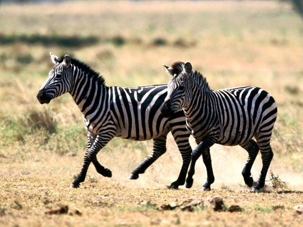 zebra_cebra_rayas_blancas_negras