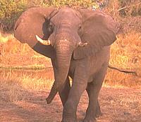 africano-elefante