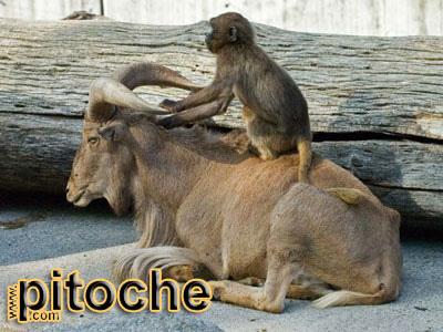 animales-graciosos-mono-cabra